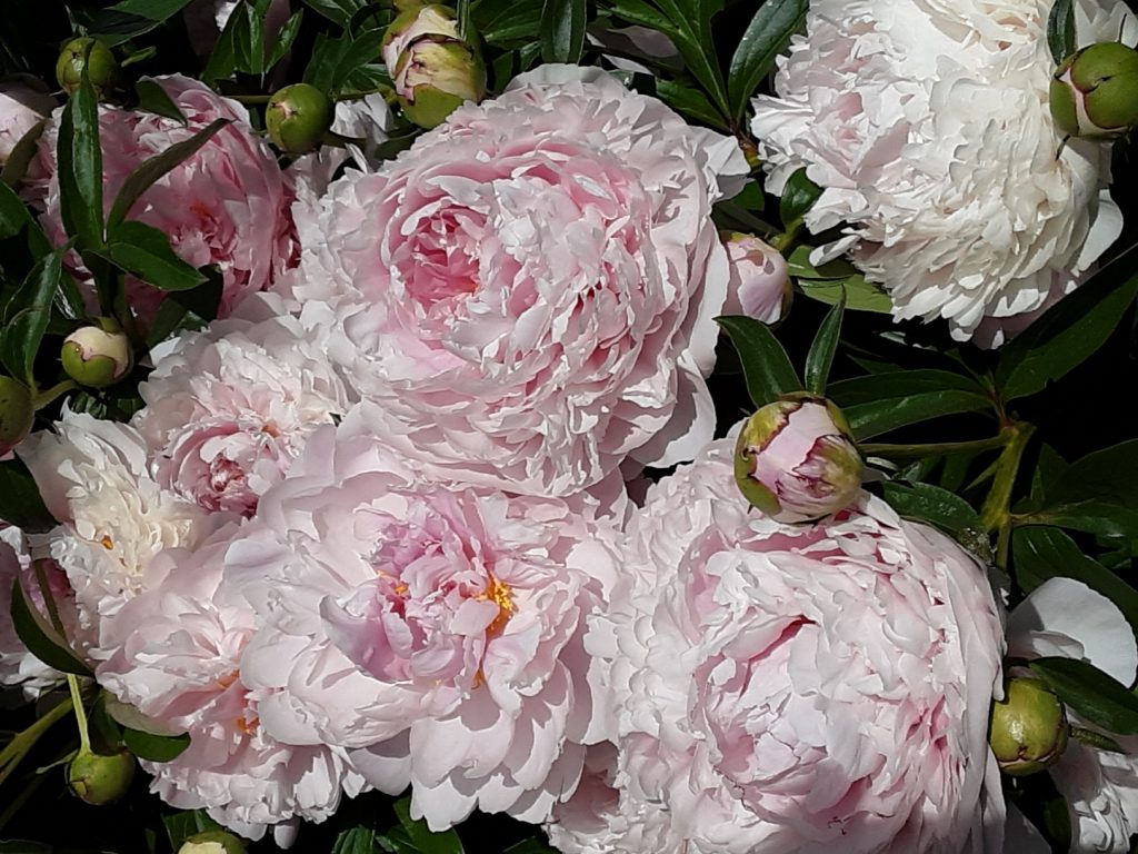 The peonies at the PO are wonderful!