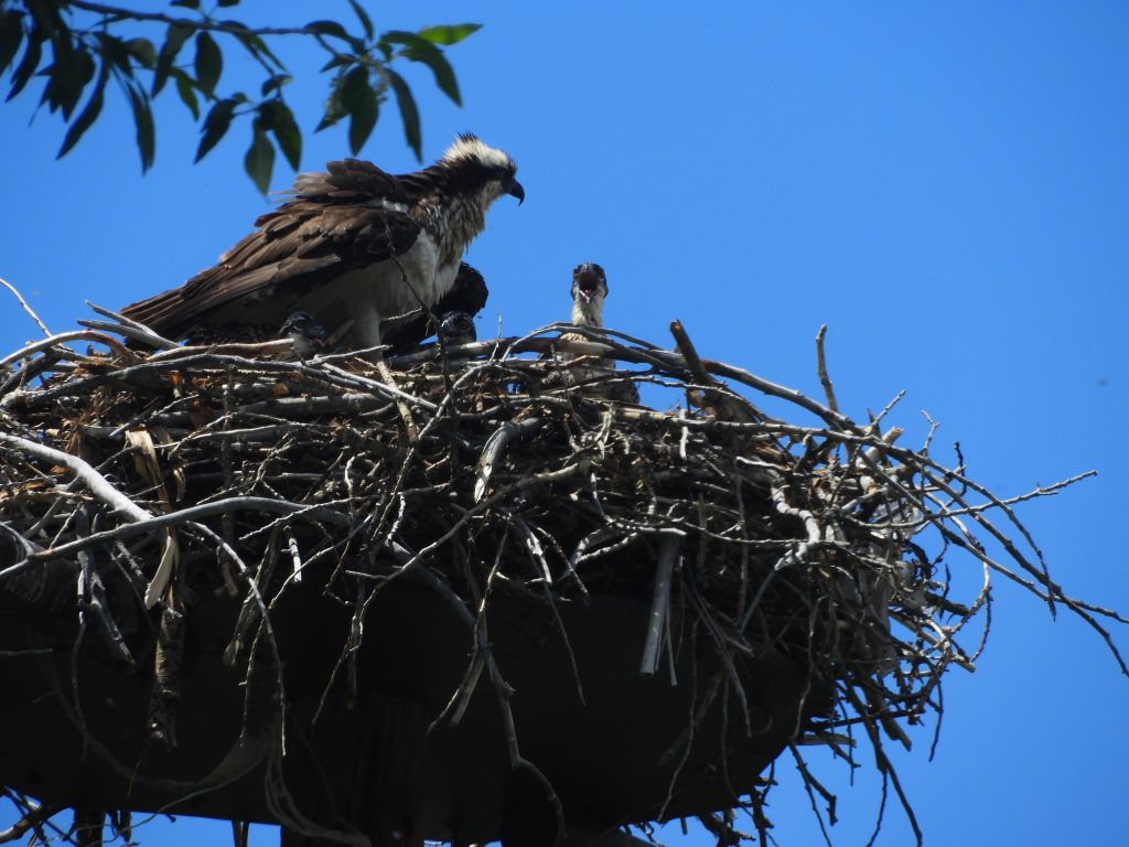Osprey mom, three babies and dad on the other side of the Yampa River Core Trail.