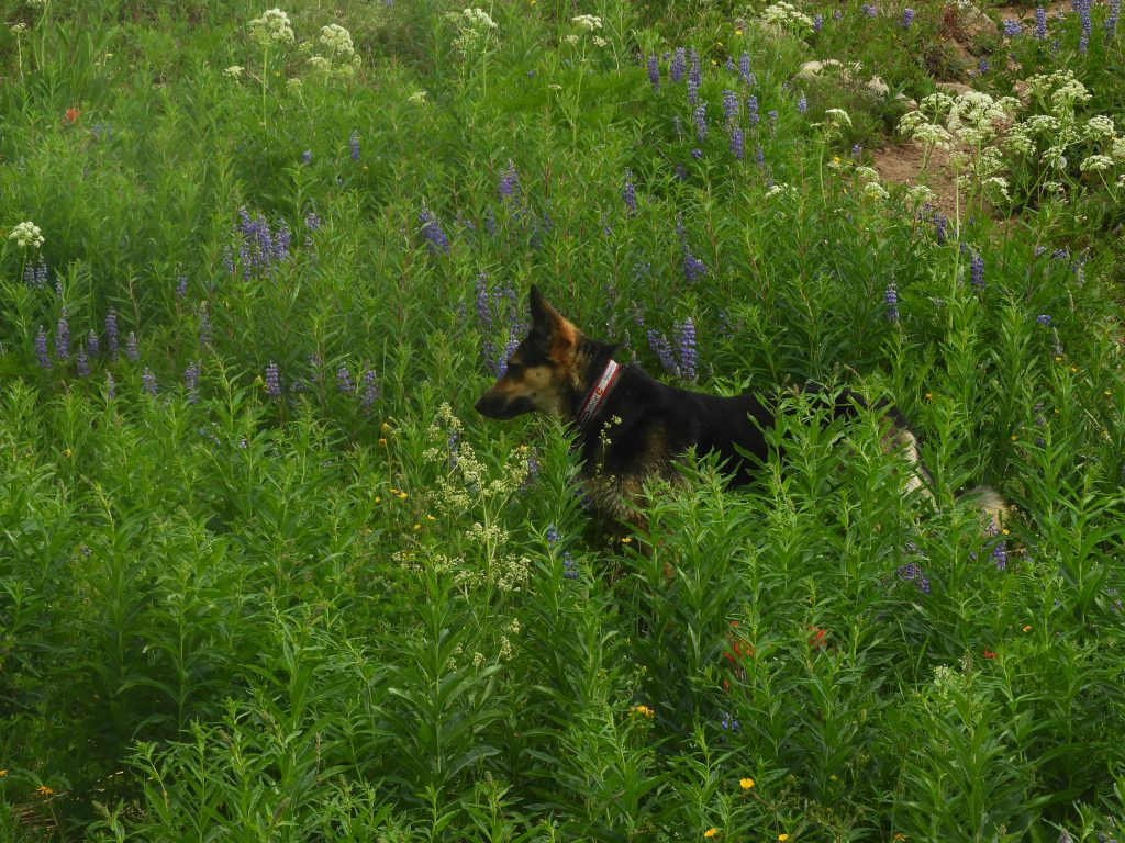 Mazzie in the wildflowers at Dumount Lake.