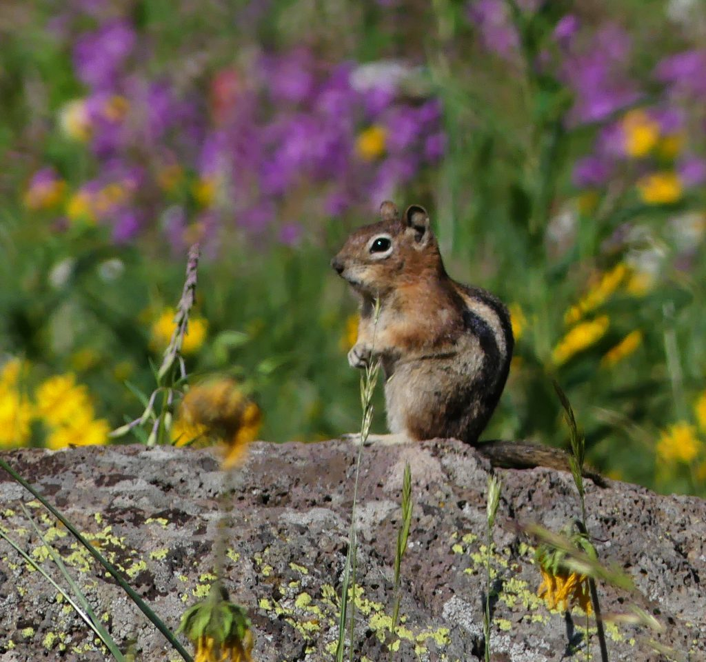 Golden-mantled Ground Squirrel enjoys the wildflowers on the trail to Rabbit Ears