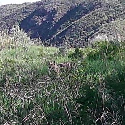 Mountain Lion or Wolf???? Trail Cam I live off 44