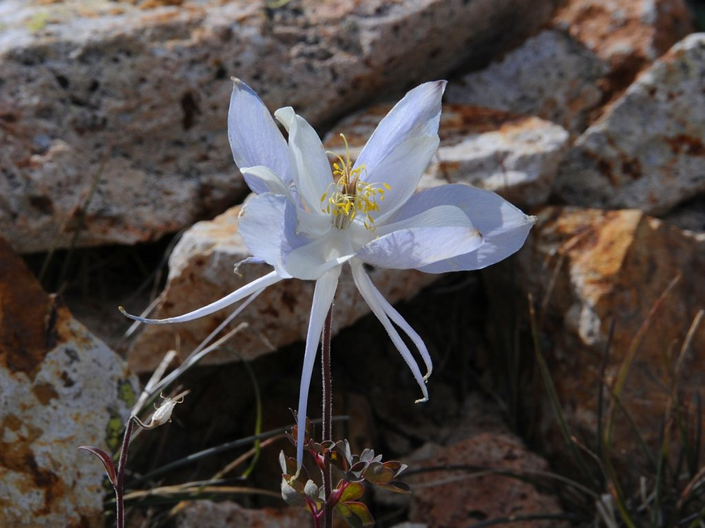 A lonely Columbine growing in a boulder field at 10,800 feet  Hahns Peak