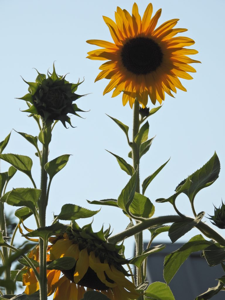 The sunflowers are blooming in the