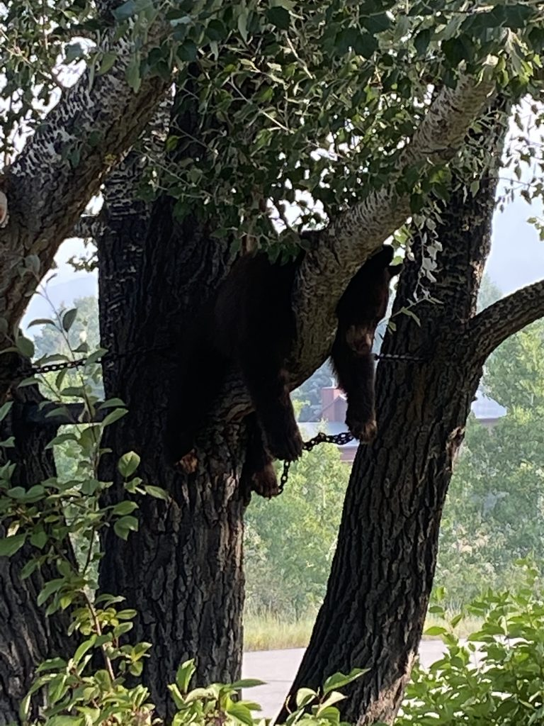 Baby bear snoozing in a tree Sunday morning @ the residence of Terry & Dawn Paulsen