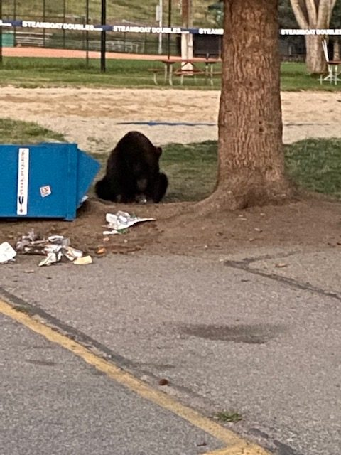 I caught this sweet baby bear having breakfast by the Howelson tennis courts this morning!