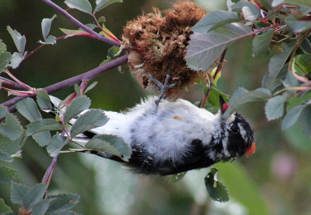 This upside down male downy woodpecker sure likes to peck on the wild rose fungus.