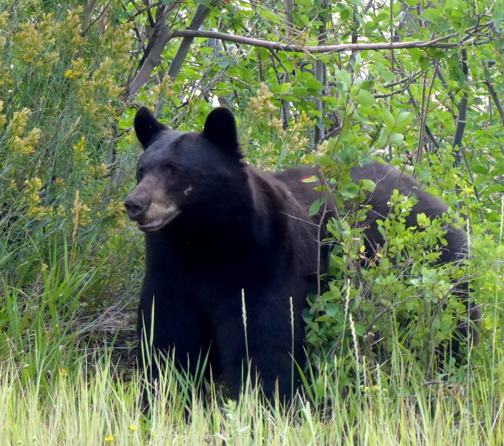 This bear was right beside the road tonight near the base of Rabbit Ears watching traffic.