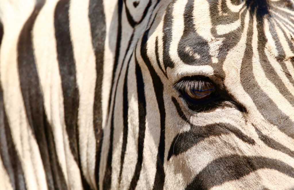 Zoro the Zebra. He is part of - The One Arm Bandit & Co Rodeo Show.