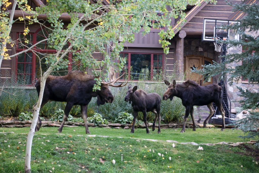 Family of moose