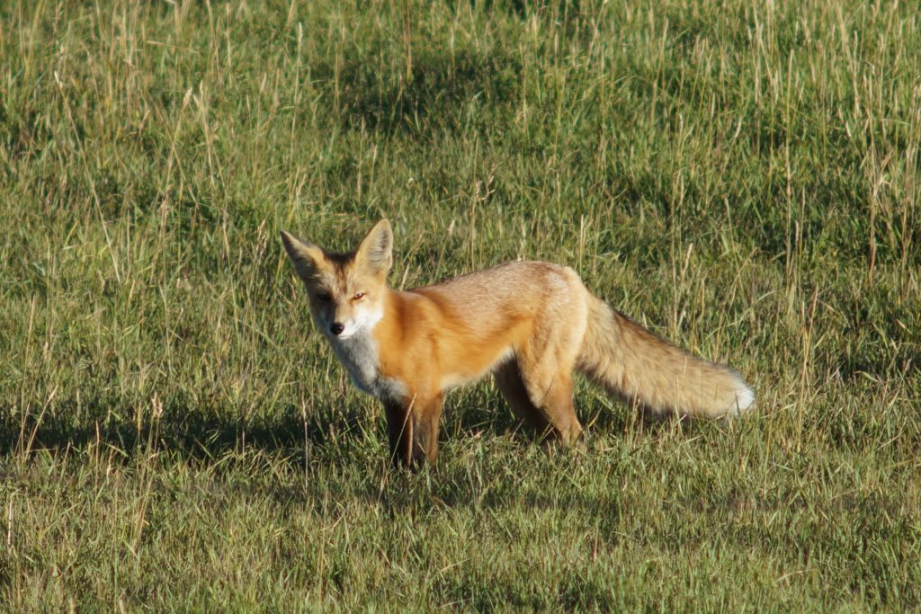 Fox in South Routt Hunting in our filed