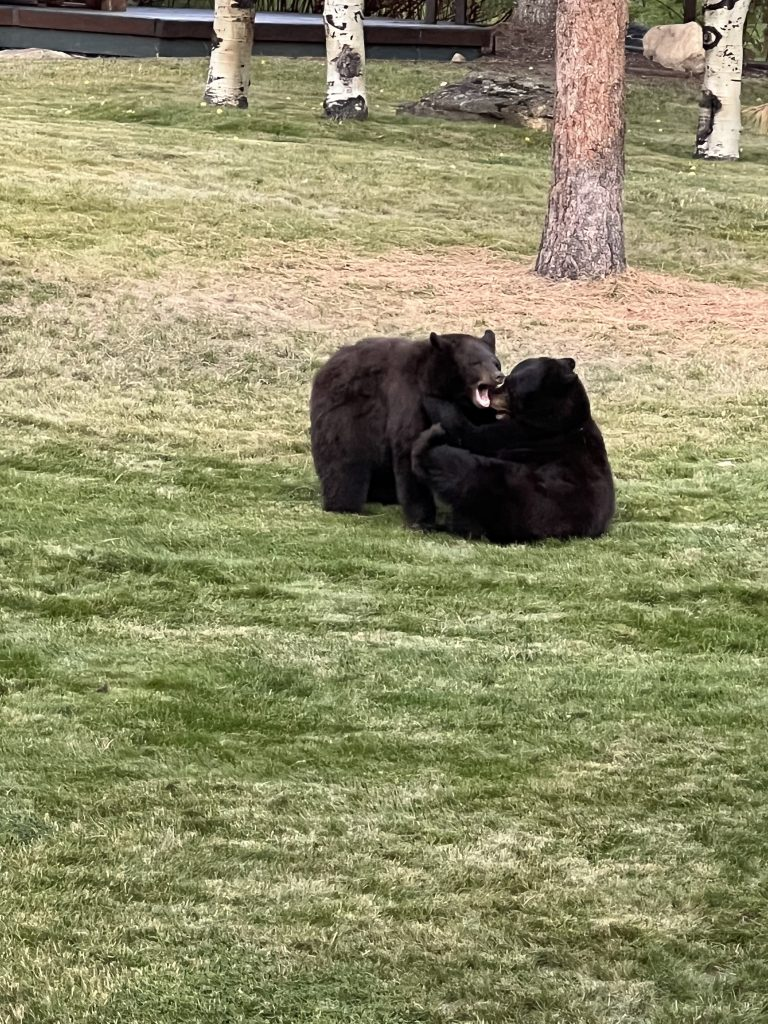 Here are some adorable bears playing in the backyard of The Pines.