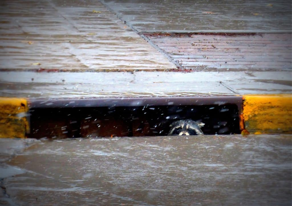 We spotted this raccoon watching the snow today, from a gutter on Lincoln Ave. in downtown Steamboat Springs. It's in front of the Downtown Conoco, where I conveniently got my snow tires put on today.