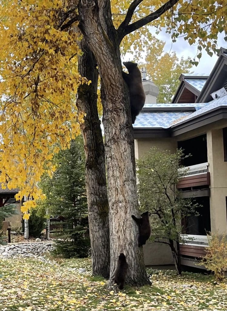 Mom teaching her cubs how to climb a tree out front of Trappeurs